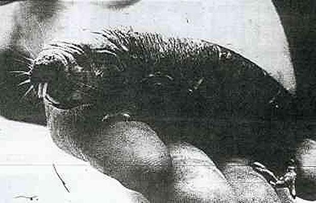 Tasmanian Mock Walrus