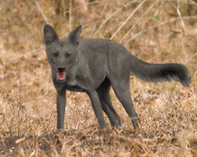 Grey Dhole.png