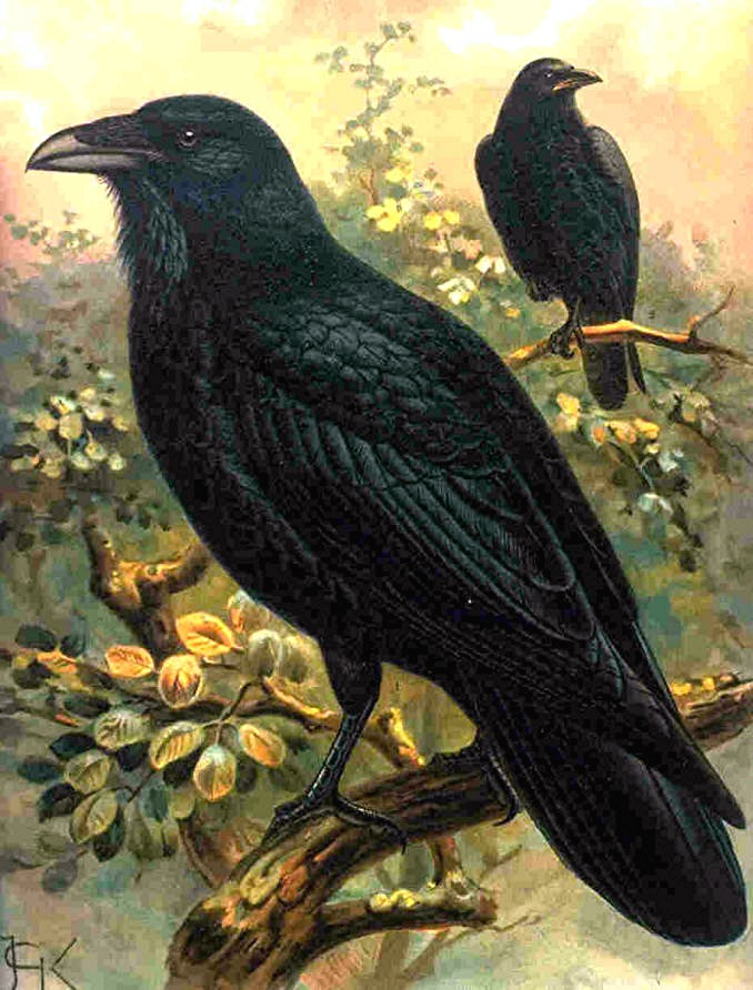 British Colombia's Giant Raven