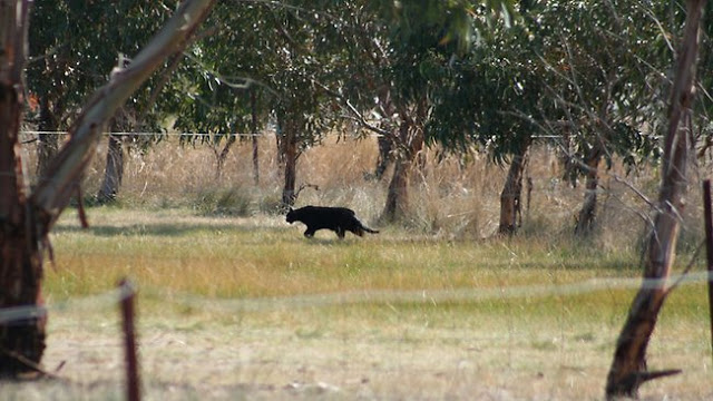 Gippsland Phantom Cat