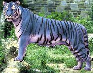 Maltese tiger