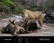 Smilodon Killing Prey (Crypid)