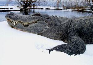 Snow gator.jpg
