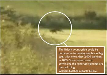 Big cat in field 470 470x330.jpg
