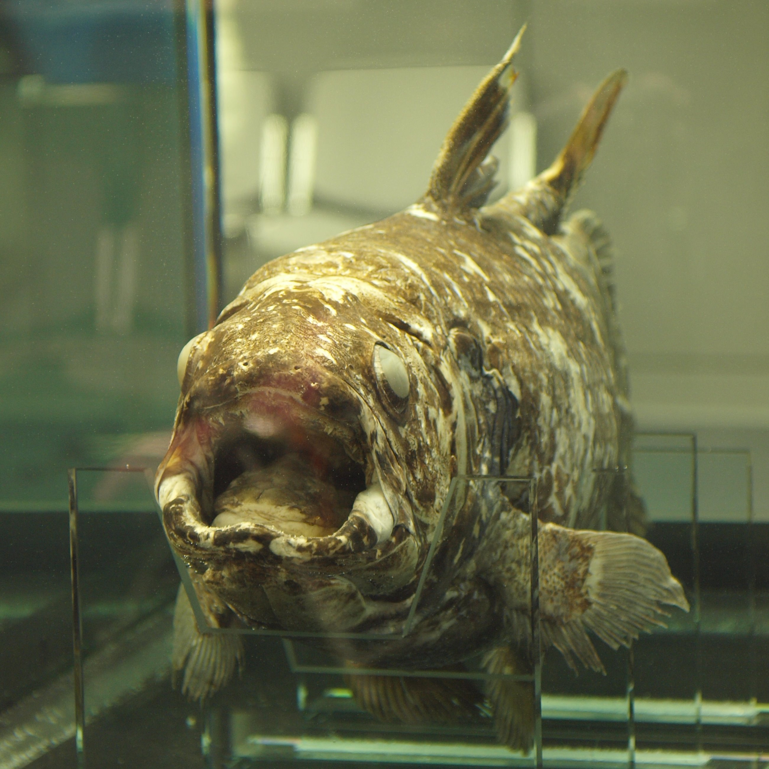 Indonesian Coelacanth