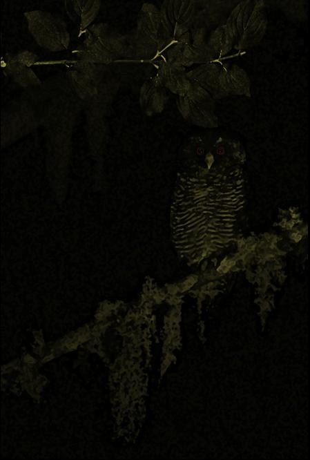 Andaman Wood Owl