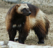 Wolverine.jpeg