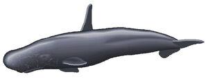 High finned sperm whale 2.jpg