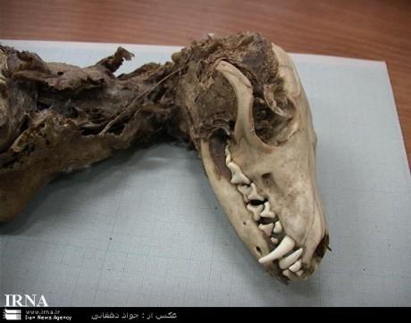 Iranian Toothed Bird