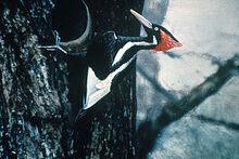 300px-Ivory-billed Woodpecker by Jerry A. Payne.jpg