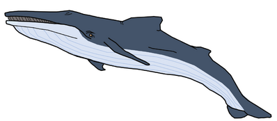 Giglioli's Whale.png
