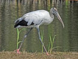 Philamaloo Bird