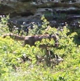 Beast of Neamt