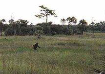 Skunk-ape-photo