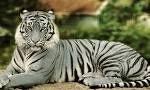 Blue Tiger aka Maltese Tiger