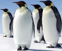 Adult Emperor Penguins