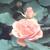 PinkRose06