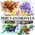 Phius Anthonyus