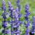 Lavender the Flower