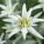 Edelweiss des Ailes de Pluie Glace