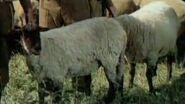 Tin.Hat.sheep