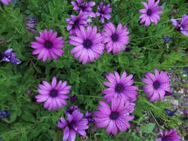 Cultivate Chrysanthemums