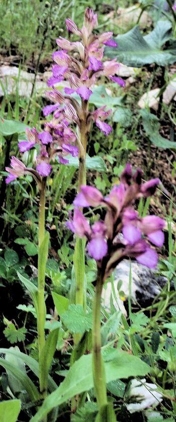 Three Orchis papilionacea