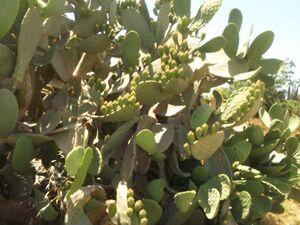 Opuntia 2 ficus indica