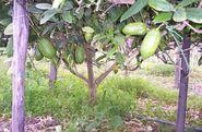 Yanove Trees