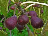Ficus carica 006