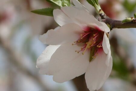 Prunus dulcis Arad valley Israel 01