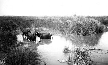 Kabara Buffalo
