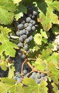 Fatgiyah vineyard13