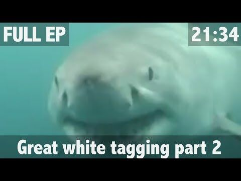 THE_SEARCH_FOR_THE_GREAT_WHITE_SHARK_PART_2