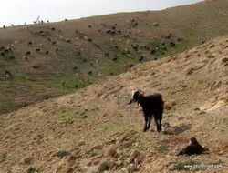 עדר עיזים במדבר יהודה