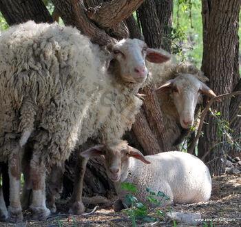 כבשים בטבע