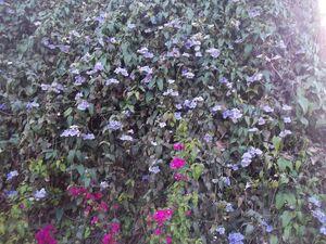 תונברגיה גדולת פרחים