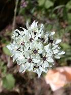 Allium meronense 2