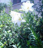 Lilium from kedumim Israel 1