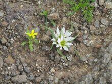 הצומח הלבן