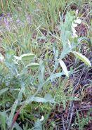 Lathyrus ochrus