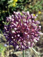 Allium ampeloprasum Inflorescence Closeup DehesaBoyaldePuertollano