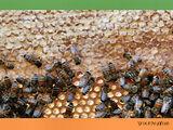 פיתוח ענף הדבורים בשומרון ובבקעת הירדן