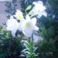 Lilium from kedumim Israel 2