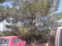 Pinus brutia 2