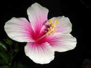 Hibiscus rosa-sinensis white-pink