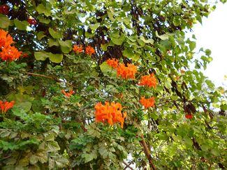Tecoma Orange Jubilee1