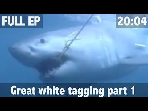THE_SEARCH_FOR_THE_GREAT_WHITE_SHARK