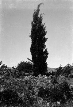 מוצא - עץ ארז שנוטע בידי ד ר הרצל בעת ביקורו בארץ בשנת 1898-JNF045331