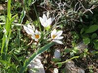 Crocus hyemalis flowers from kdumim winter 2014 009